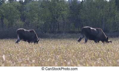 moose eat young grass on floodplain meadows - In spring...