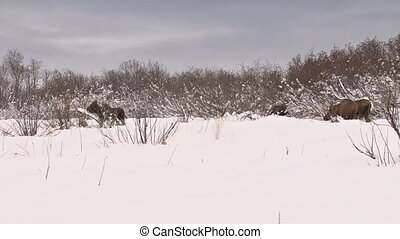 Moose family browsing - long shot - Cow moose and two calves...