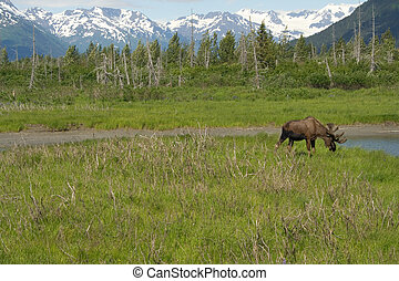 A moose is in a field eating grass. Alaskan mountains fill the background.