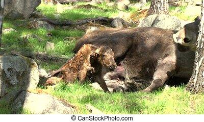 moose in sweden - absolutely rare - newborn moose calf!