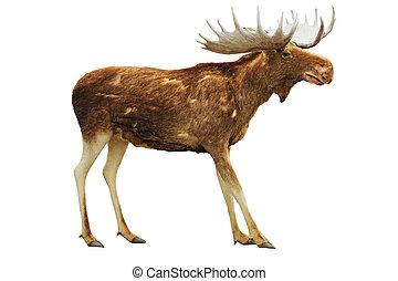 Moose isolated on white