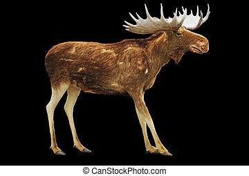 moose, isolerat, på, svart