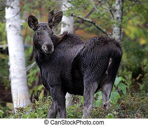 Moose Looking Back - A moose looking back in Cape Breton...