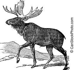 Moose or Eurasian Elk or Alces alces, vintage engraving. Old engraved illustration of a Moose.