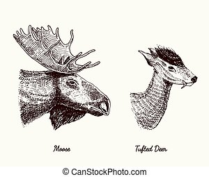moose or eurasian elk, tufted deer vector hand drawn illustration, engraved wild animals with antlers or horns vintage looking heads side view
