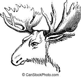 Moose or Eurasian elk, vintage engraving. - Moose or...