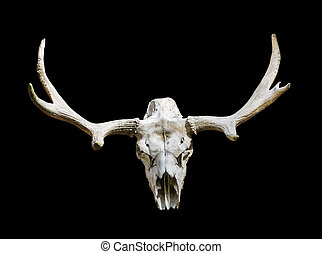 Moose skull with antlers on a black background