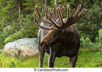 Moose - Large bull moose in sunlight