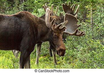 Moose - 2 large bull moose standing in grass
