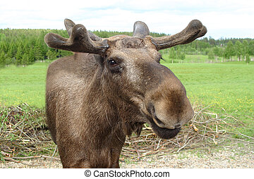 Moose talking