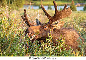 Moose - Young bull moose eating willows in eating morning...