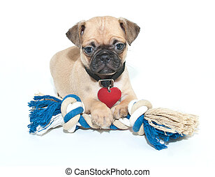 mops, junger hund