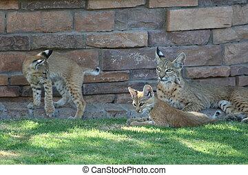 mor, bobcat, med, ättling