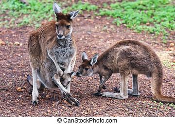 mor, känguru, med, två, barnen