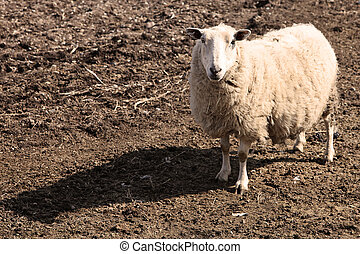 mor, sheep, in, fjäder