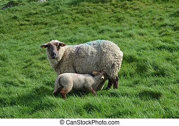 mor, sheep, matning, henne, baby, in, irland