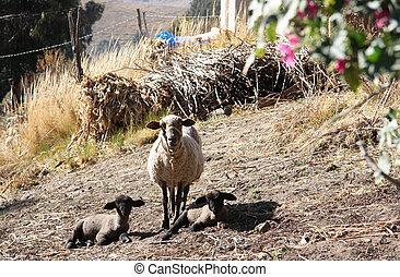 mor, sheep, med, henne, lamm