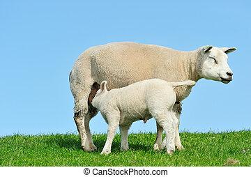 mor, sheep, och, henne, lamm, drickande mjölka, in, fjäder