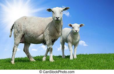 mor, sheep, och, henne, lamm, in, fjäder