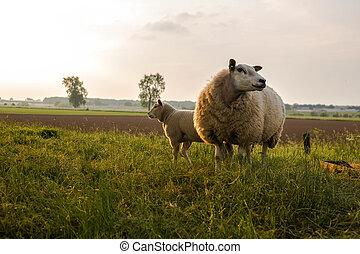 mor, sheep, och, henne, lamm, in, fjäder, friesland, den, nederländerna