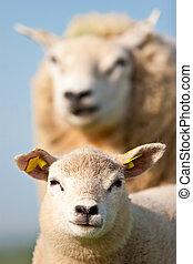 mor, sheep, och, henne, lamm