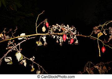 mora, fruta, rosehip, seco