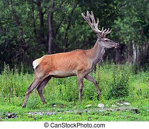 Moral red deer in the woods