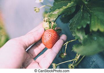 moranguinho, colheita, campo, morangos, pessoas, colheita, jardim, -