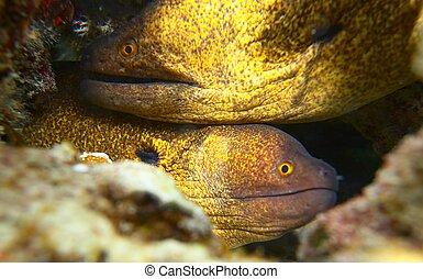 moray, 2, rojo, anguila