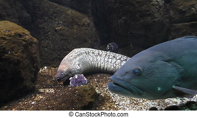 View of full length muraena fish resting on the seabed with open mouth. A big dark blue fish swims between camera and Mediterranean moray