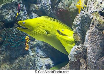 moray, arrecife, coral, pez, amarillo