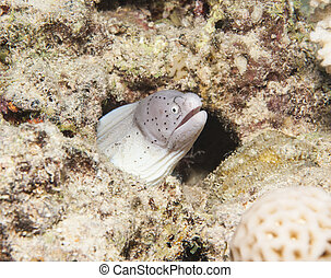 moray, barrera coralina, sazonado con pimienta