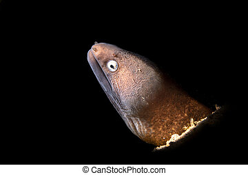 moray, blanco, eyed, anguila