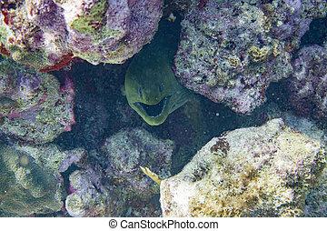 moray, cámara, anguila, verde, mirar