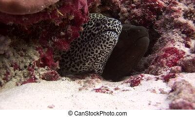 Moray Eel black and spotted on background coral underwater in sea of Maldives. Swimming in world of colorful beautiful wildlife of reefs. Inhabitants in search of food. Abyssal relax diving.