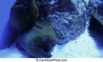 Moray Eel in cave breathing