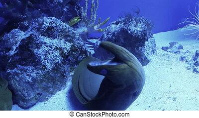 Moray Eel in cave breathing - Underwater shooting of moray...
