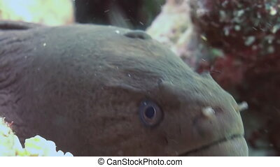 Moray Eel in mouth of home in coral reef. Close Up Shot. Amazing, beautiful underwater marine life world of sea creatures in Maldives. Scuba diving and tourism.
