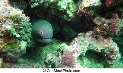 Moray Eel in mouth of home in coral reef. Close Up Shot....