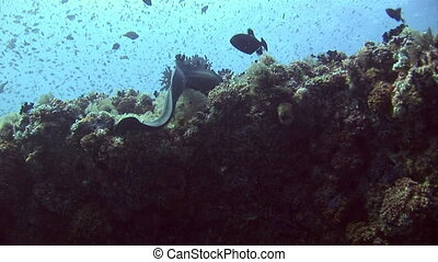 Moray eel on background coral underwater in sea of Maldives. Swimming in world of colorful beautiful wildlife of corals reefs. Inhabitants in search of food. Abyssal relax diving.