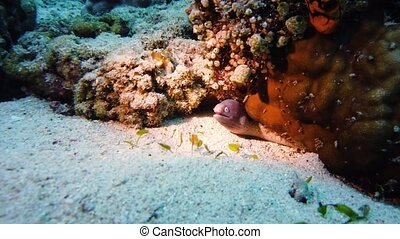 Moray eel tropical fish on a coral reef. Underwater world with corals and tropical fish. Diving and snorkeling in the tropical sea.