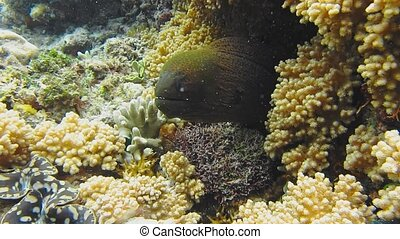 Moray Eel peeking out of a coral reef.
