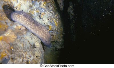 Moray Eel Swimmimg Out Of Underwater Cave Hole & Coral Reef Gato Philippines Asia