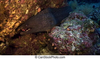 Moray eel underwater in ocean on Galapagos. Amazing life of tropical nature world. Scuba diving.