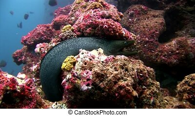 Moray eel underwater of turquoise lagoon on Galapagos. Relax macro video.