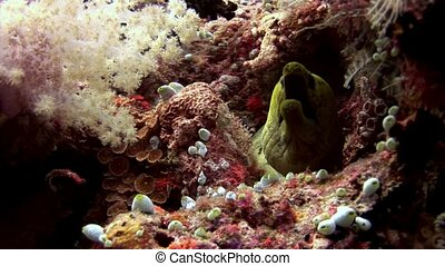 Moray eel underwater on coral reef seabed in Maldives. Unique amazing macro video closeup footage. Abyssal relax diving. Natural aquarium of sea and ocean. Beautiful dangerous animals.