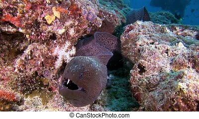 Moray eel underwater on seabed in Maldives. Unique amazing video footage. Abyssal relax diving. Natural aquarium of sea and ocean. Beautiful animals.