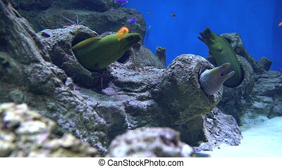 moray eels and shrimp cleaners, underwater life