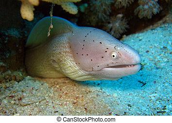 moray, egipto, grisea), estrecho, anguila, sazonado con...