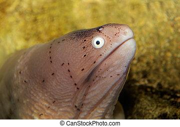 moray, geométrico, anguila